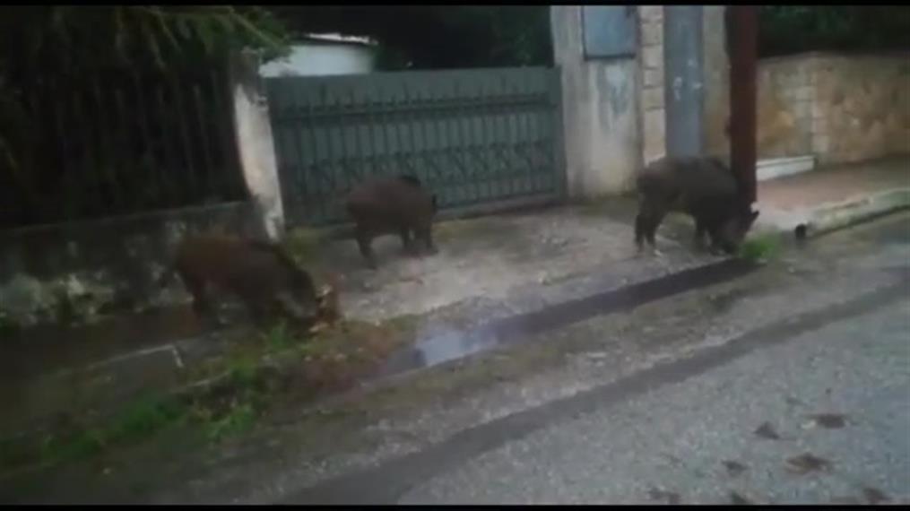 Αγριογούρουνα κάνουν βόλτα έξω από  σπίτια