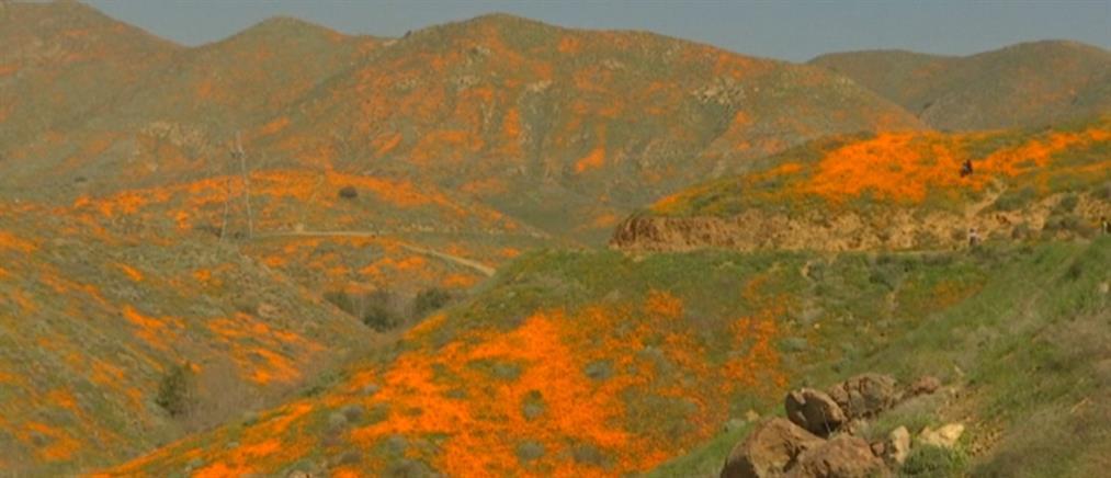 """""""Αιχμαλωτίζει"""" ο λόφος με τις πορτοκαλί παπαρούνες (βίντεο)"""