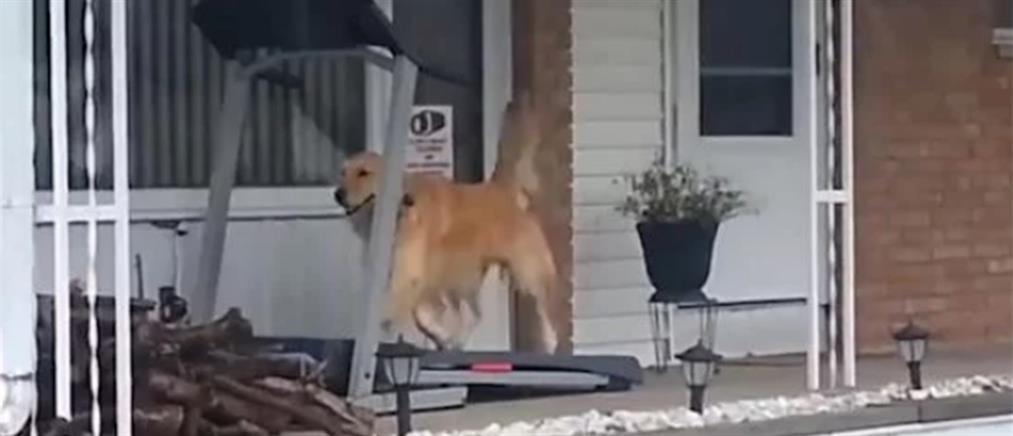 Σκύλος τρέχει πάνω σε… διάδρομο γυμναστικής (βίντεο)