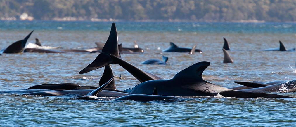 Συναγερμός για 270 φάλαινες που εγκλωβίστηκαν σε ακτή