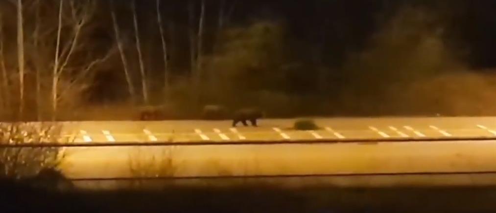 """Αρκούδα με τα μικρά της """"κόβουν"""" βόλτες στην Καστοριά (βίντεο)"""