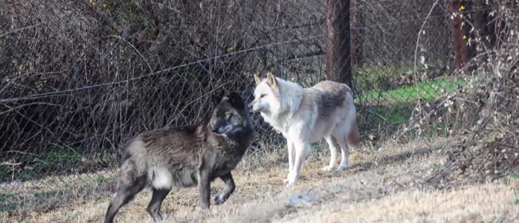 Ανησυχία στην Αττική από τις αγέλες λύκων που αναζητούν τροφή (βίντεο)