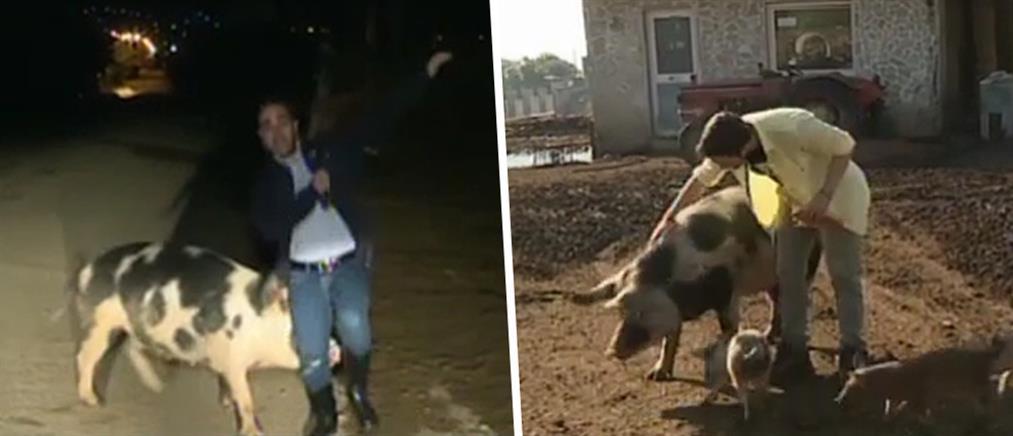 """""""Καλημέρα Ελλάδα"""": η δεύτερη συνάντηση με τη γουρούνα και οι απαντήσεις για την πρώτη… (βίντεο)"""