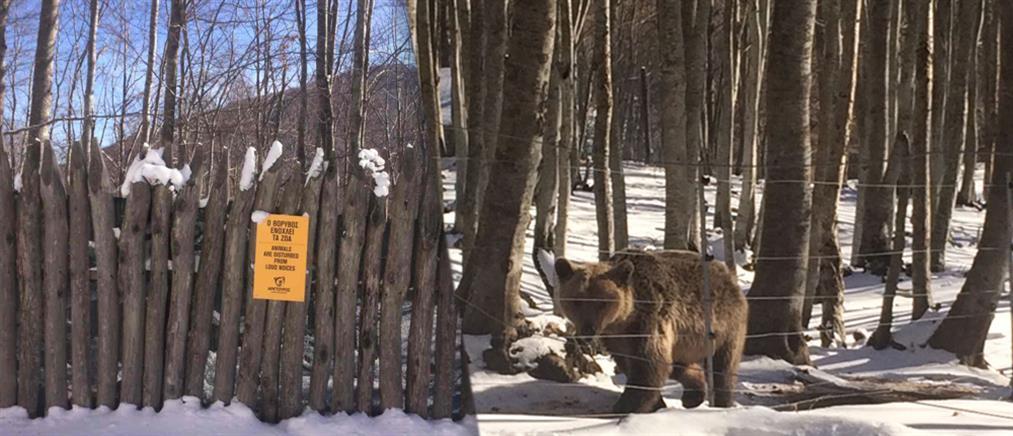 """Είδαν το χιόνι και πήγαν για… ύπνο οι αρκούδες του """"Αρκτούρου"""""""