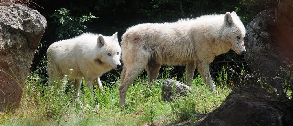 Πήλιο: αγέλες λύκων κατασπαράζουν κοπάδια