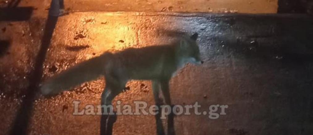 Σκότωσαν την αλεπού μασκότ της Φθιώτιδας
