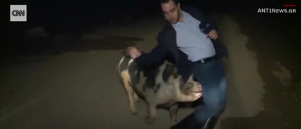 Τον γύρο του κόσμου έκανε το κυνηγητό του ρεπόρτερ του ΑΝΤ1 από γουρούνι (βίντεο)