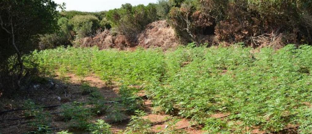 Χασισοφυτεία με 2000 δέντρα και …αυτόματο πότισμα! (εικόνες)