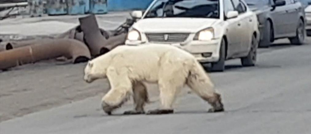Κλιματική αλλαγή: πολική αρκούδα περιπλανιέται σε βιομηχανική πόλη (βίντεο)