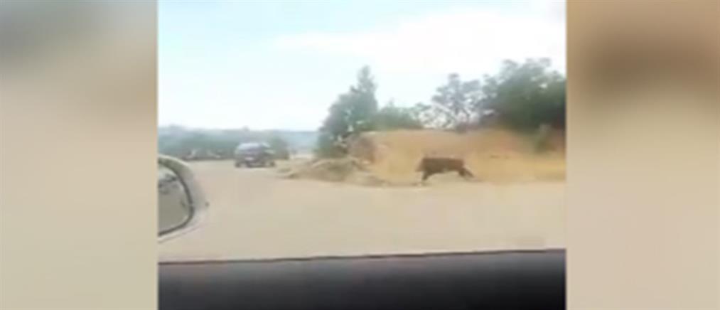 Χαλκίδα: Αγριογούρουνο βγήκε βόλτα στην πόλη (βίντεο)