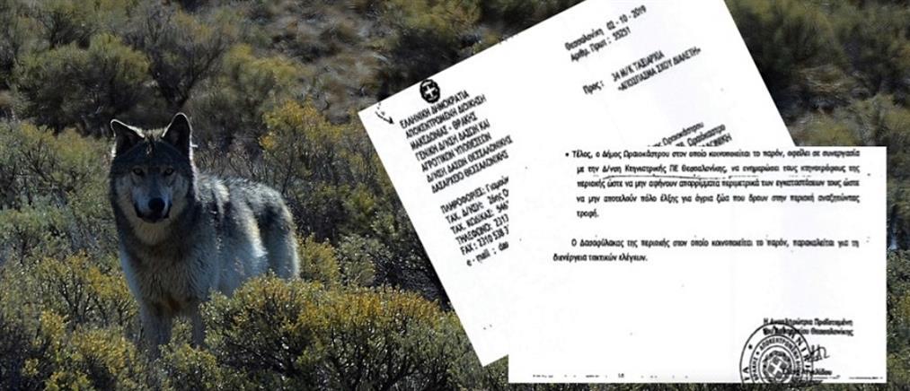 Εμφανίστηκαν λύκοι μέσα σε στρατόπεδο (εικόνες)