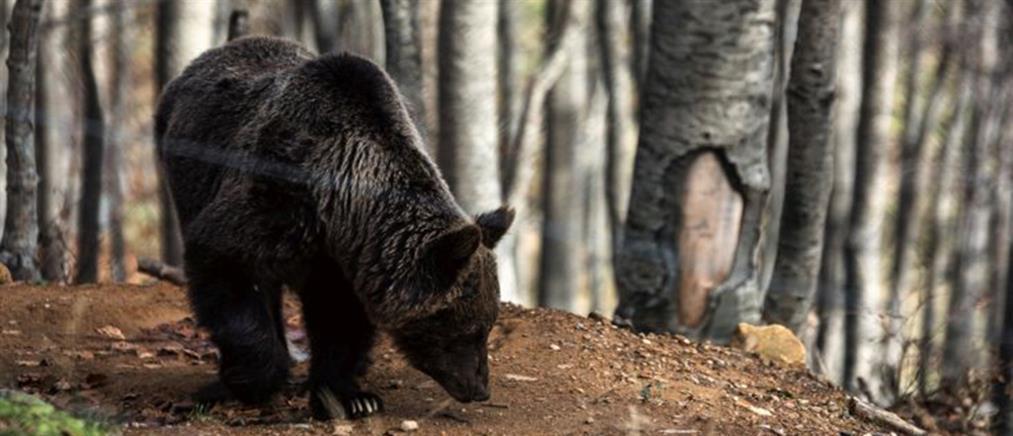 Η Άνοιξη ...ξύπνησε τις αρκούδες στο καταφύγιο του Αρκτούρου (φωτό)