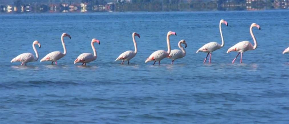 Επιστρέφουν οι νανόχηνες και τα φλαμίνγκο στη λίμνη Κερκίνη