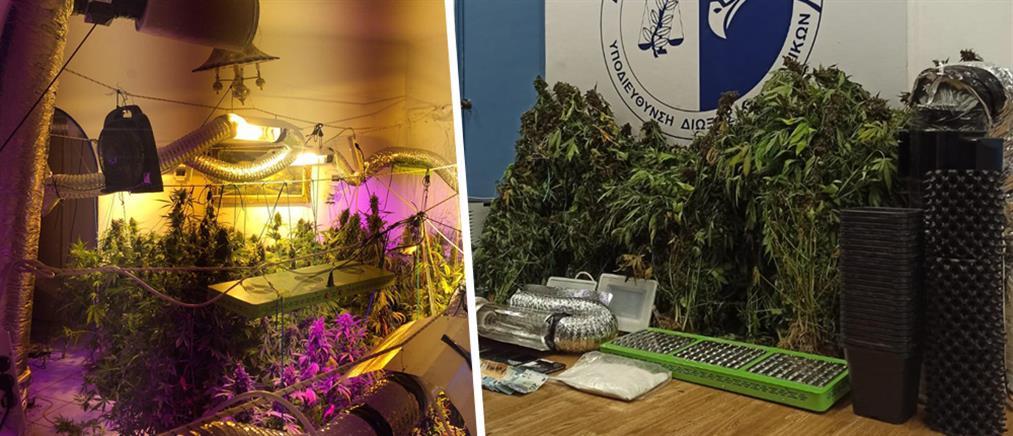 """Καλλιεργούσαν κάνναβη και πωλούσαν την """"σοδειά"""" σε Αθήνα και Μύκονο (εικόνες)"""