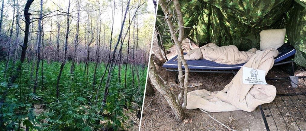 Τεράστια φυτεία με δενδρύλλια κάνναβης εντοπίστηκε στην Μαλακάσα (εικόνες)