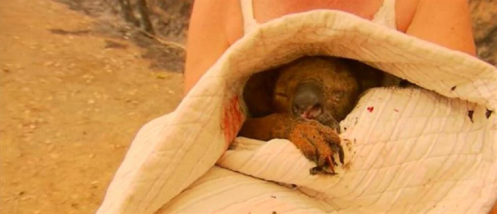Πέθανε το κοάλα που είχε υποστεί εγκαύματα στην Αυστραλία