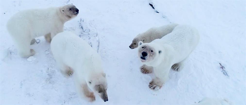 Πολικές αρκούδες έχουν... περικυκλώσει χωριό της Ρωσίας (βίντεο)