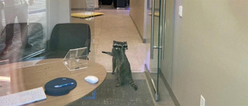 Εισβολή ρακούν σε τράπεζα (εικόνες)