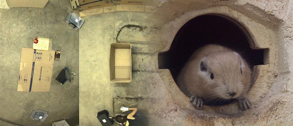 Ερευνητές έμαθαν σε ποντίκια να παίζουν κρυφτό!