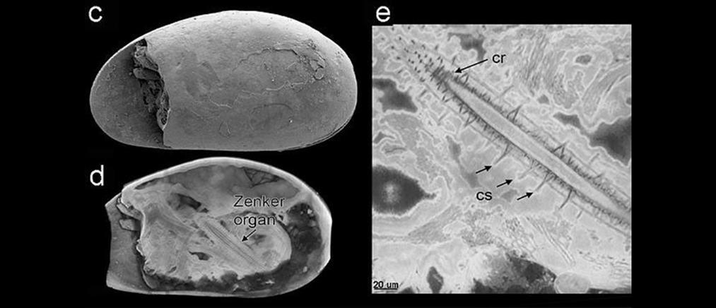 Ανακαλύφθηκε το αρχαιότερο σπερματοζωάριο-γίγας στη Γη