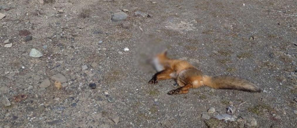 Νεκρή αλεπού από δηλητηριασμένο δόλωμα