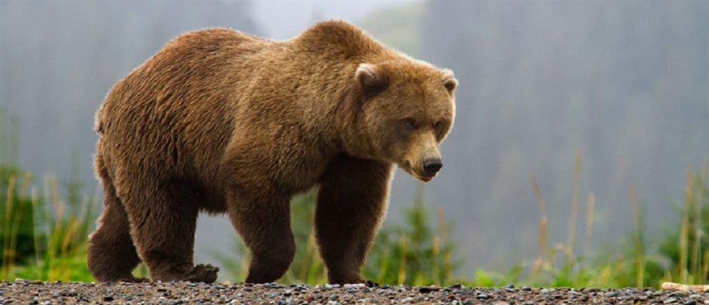 Απίστευτο: τον καταπλάκωσε η αρκούδα που... πυροβόλησε