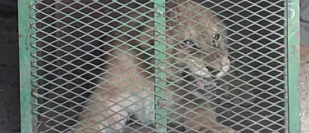 """""""Κολαστήριο"""" για λιοντάρια στη Νότια Αφρική (βίντεο)"""