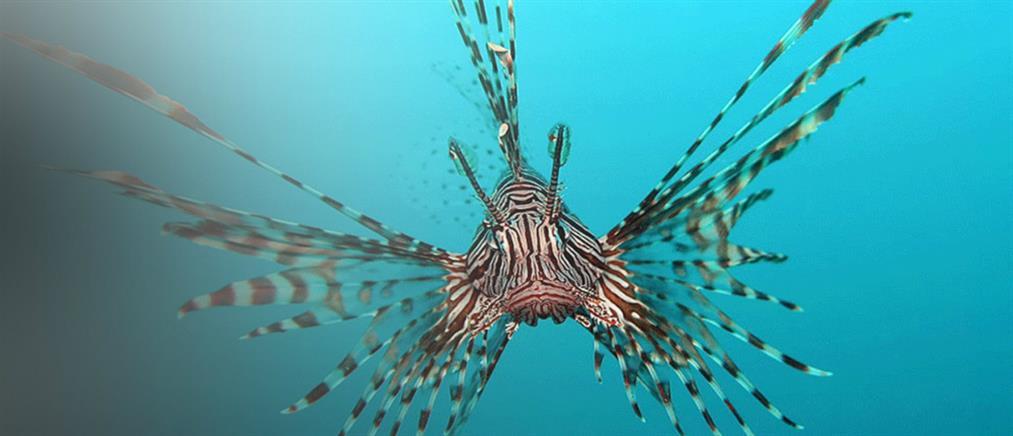 Ψαροντουφεκάς καμάκωσε λεονταρόψαρο στην Κρήτη (εικόνα)