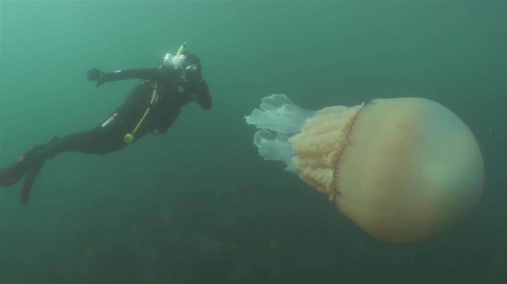 Γιγαντιαία μέδουσα εντοπίστηκε στην Κορνουάλη