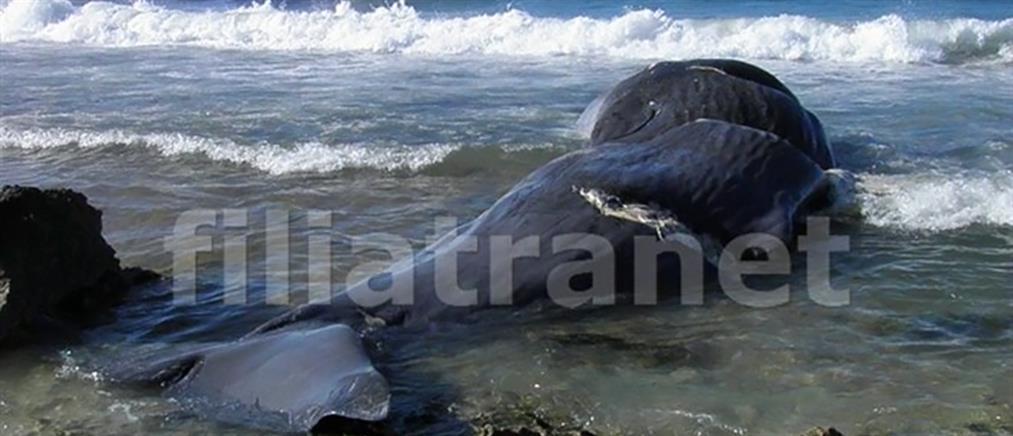Νεκρή φάλαινα 10 μέτρων στα Φιλιατρά