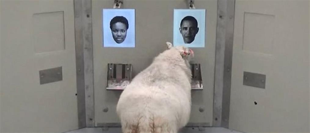 Πρόβατα αναγνωρίζουν πρόσωπα …από φωτογραφίες! (βίντεο)