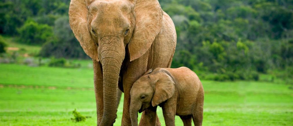 Κένυα: υπερδιπλασιάστηκε ο αριθμός των ελεφάντων