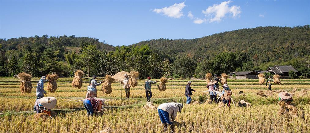 Ανακάλυψαν το (μεταλλαγμένο) μακρύκοκκο ρύζι-θαύμα