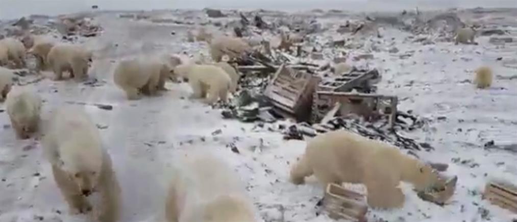 Εισβολή πολικών αρκούδων σε ρωσική πόλη (βίντεο)