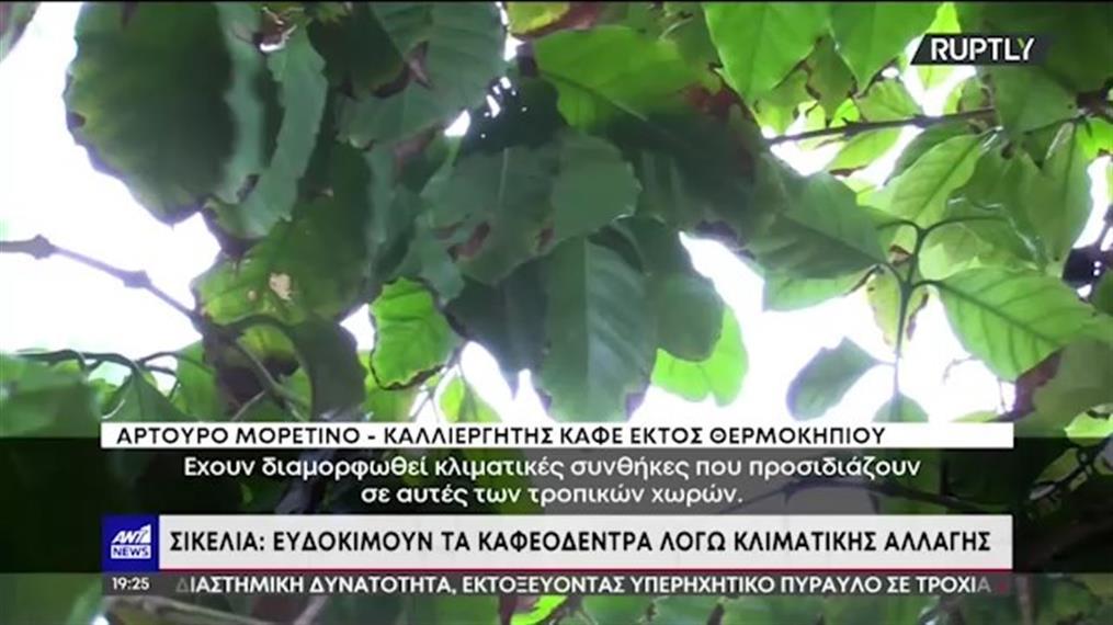 Καφεόδεντρα ευδοκίμασαν στην Σικελία