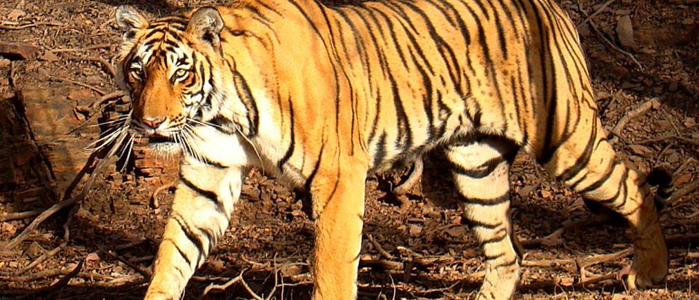 Τίγρης επιτέθηκε και σκότωσε υπάλληλο ζωολογικού κήπου