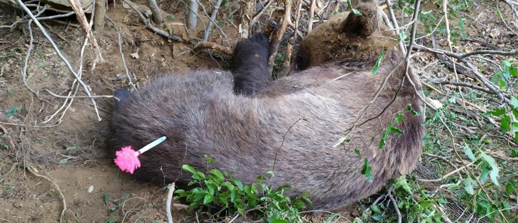 Αρκούδα βρέθηκε τραυματισμένη μέσα σε παγίδα (εικόνες)
