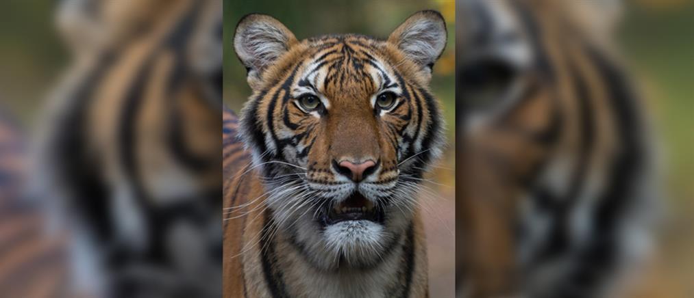 Κορονοϊός: νόσησε τίγρη σε κλειστό ζωολογικό κήπο