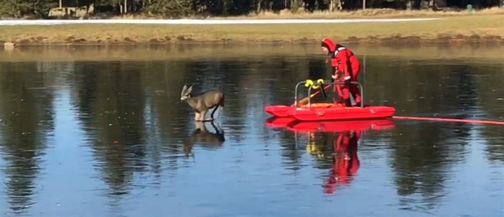 Η viral επιχείρηση διάσωσης ελαφιού από παγωμένη λίμνη (βίντεο)