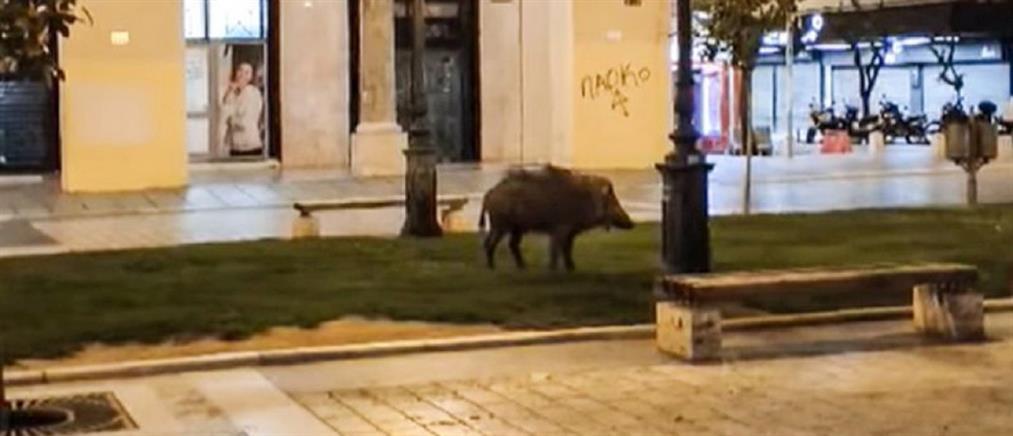 Θεσσαλονίκη: Αγριογούρουνο κόβει βόλτες στην Αριστοτέλους (βίντεο)