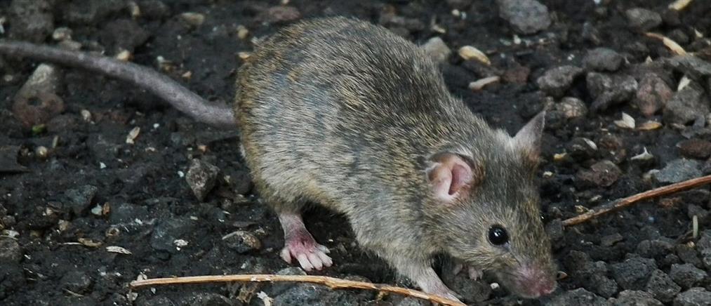 Γέμισε ποντίκια το Αριστοτέλειο Πανεπιστήμιο