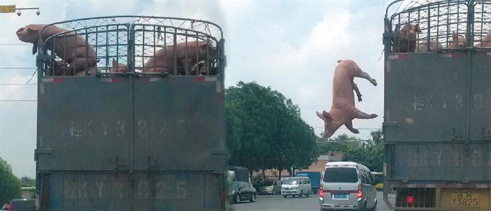 Το χάσαμε το γουρούνι, πατριώτη…