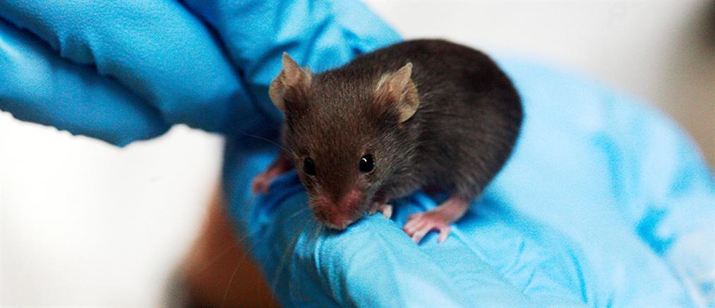Παράλυτα ποντίκια περπάτησαν ξανά