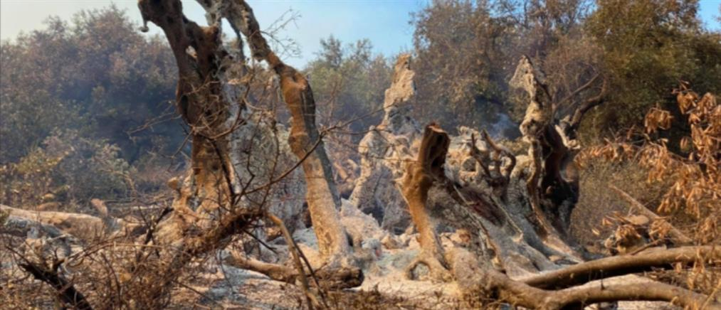 Φωτιά στην Εύβοια: Στάχτη ελιά... 2500 χρόνων