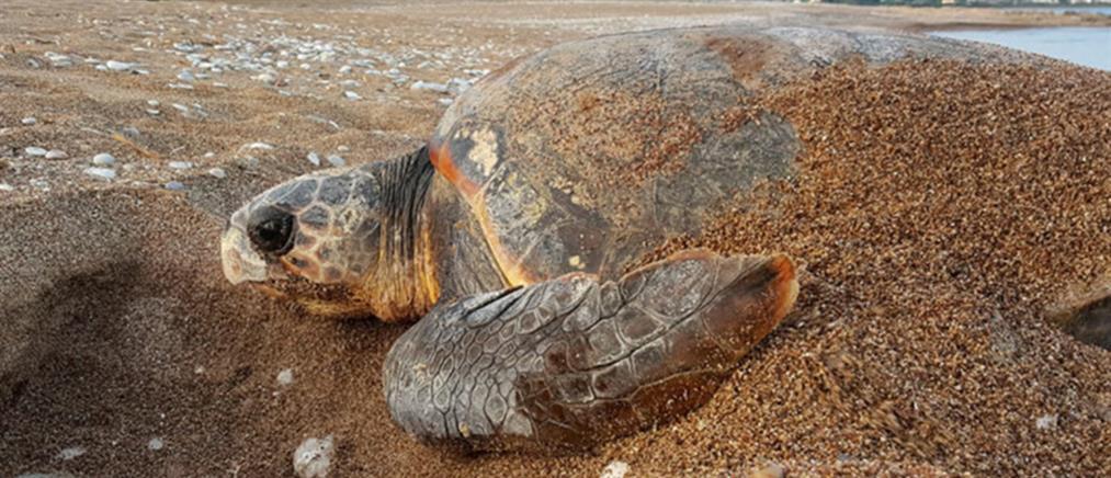 Θαλάσσιες χελώνες επιτέθηκαν σε λουόμενους στη Μάνη!