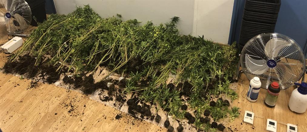 Δεκάδες δενδρύλλια κάνναβης σε υπόγειο (εικόνες)