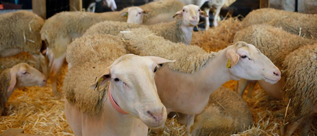 Έκαψε ζωντανά 100 πρόβατα γιατί είχε… διαφορές με τον κτηνοτρόφο