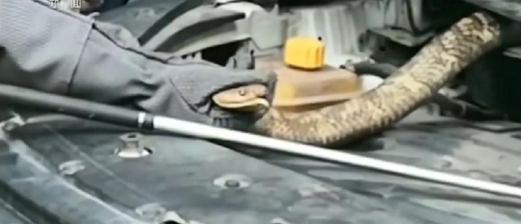 Κόμπρα 2,7 μέτρων φώλιασε σε μηχανή αυτοκινήτου (βίντεο)