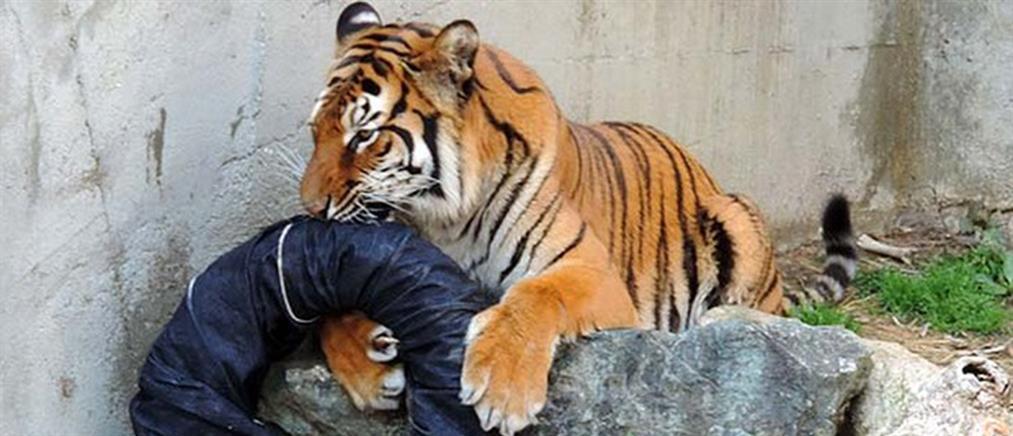 Πανικός από τίγρη που κυκλοφορούσε στο κέντρο του Παρισιού