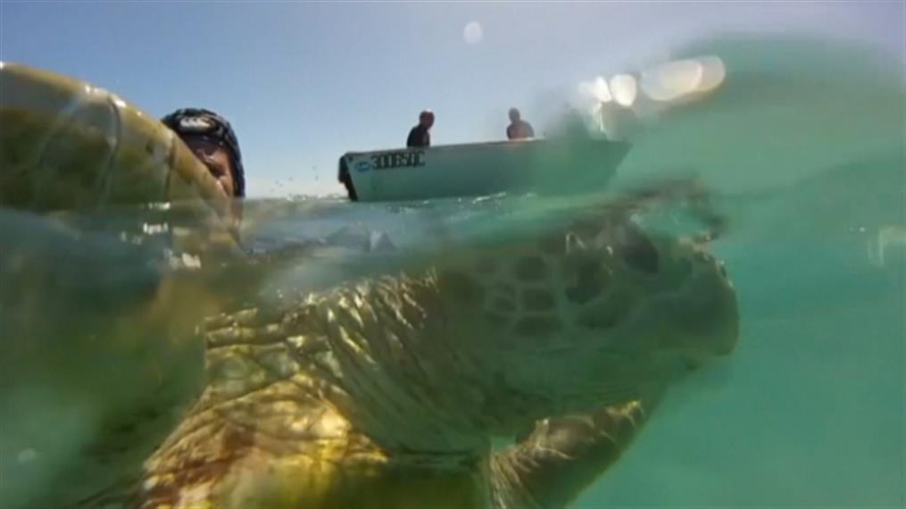 Οι θαλάσσιες χελώνες απειλούνται από το πλαστικό στο Βόρειο Ατλαντικό Ωκεανό